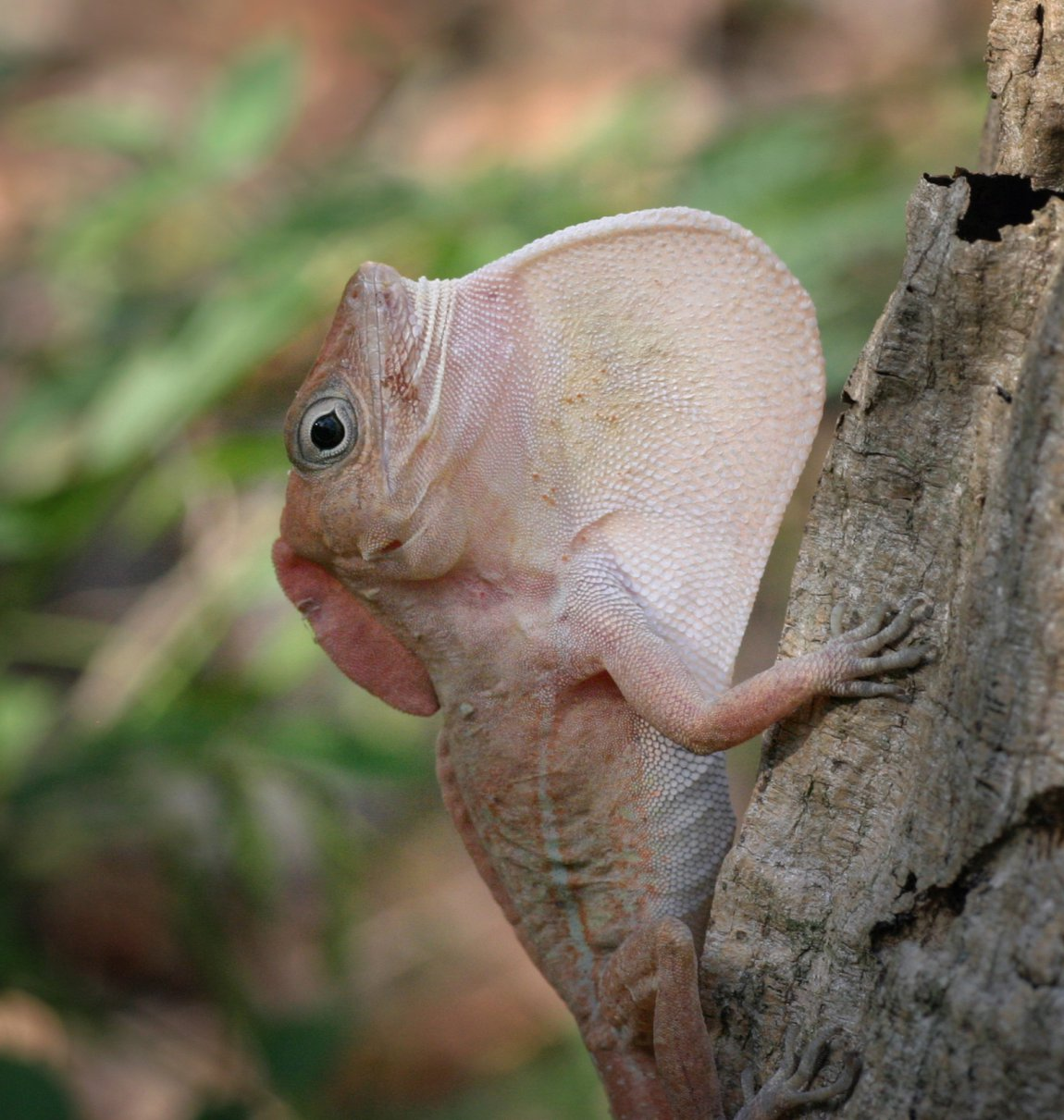 A big-headed anole (Anolis cybotes) extending its dewlap