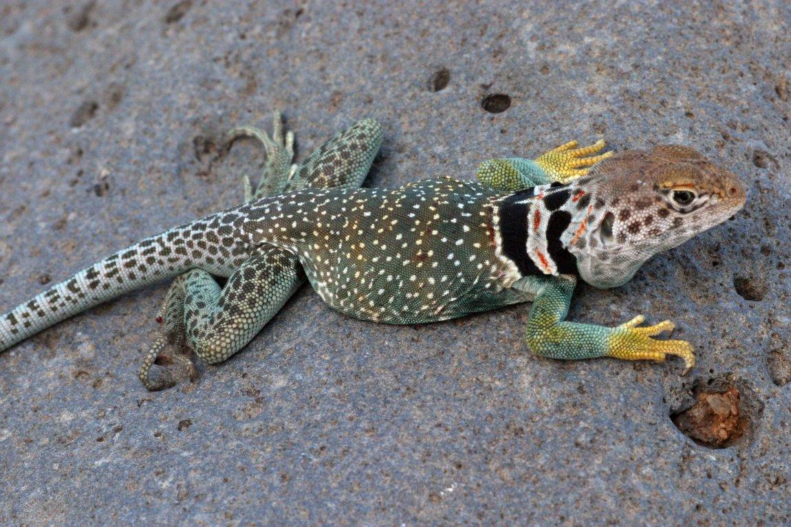 A collared lizard (Crotaphytus collaris) from Arizona