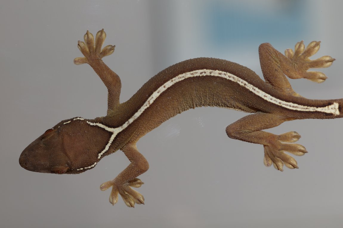 A one-lined gecko on glass (Gecko vittatus). Image credit: Sean Werle