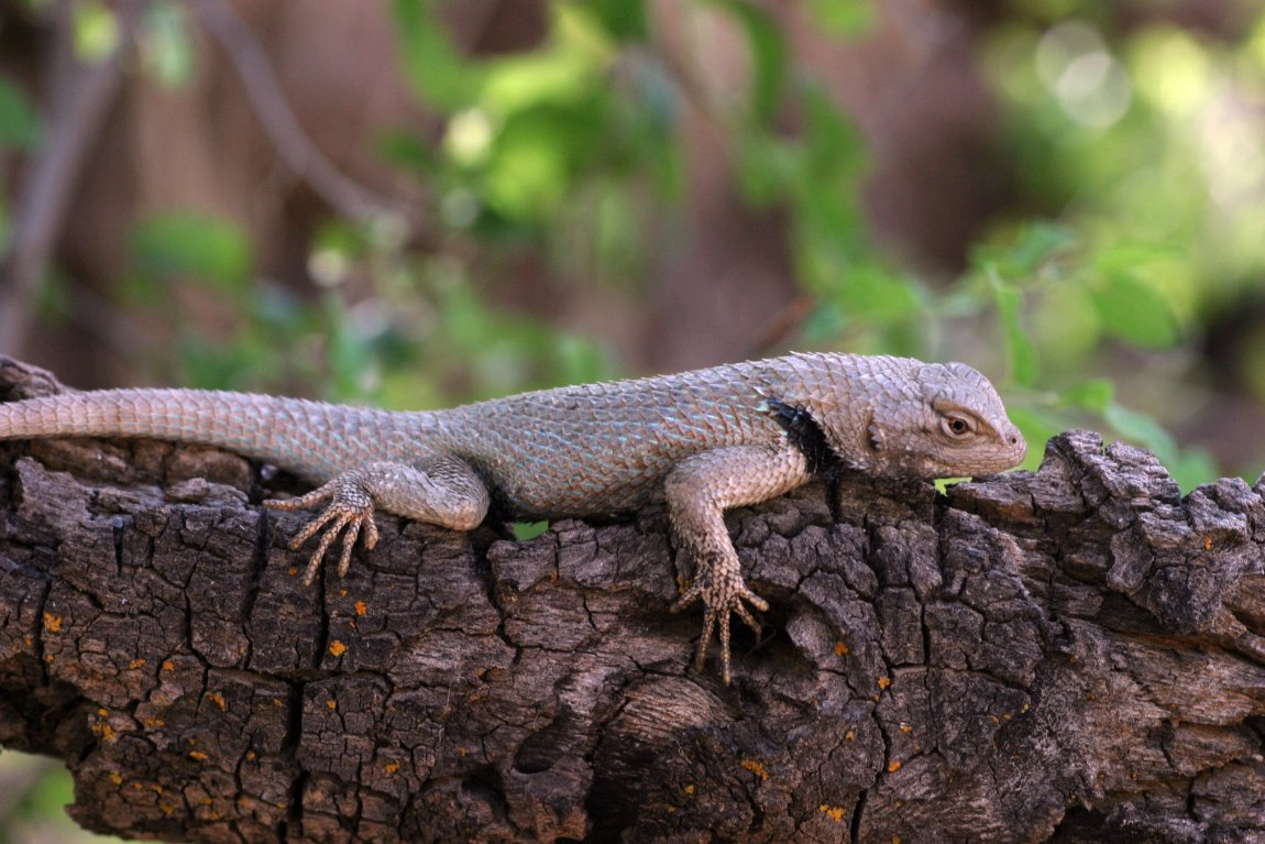 A spiny lizard (Sceloporus clarkii) from Arizona