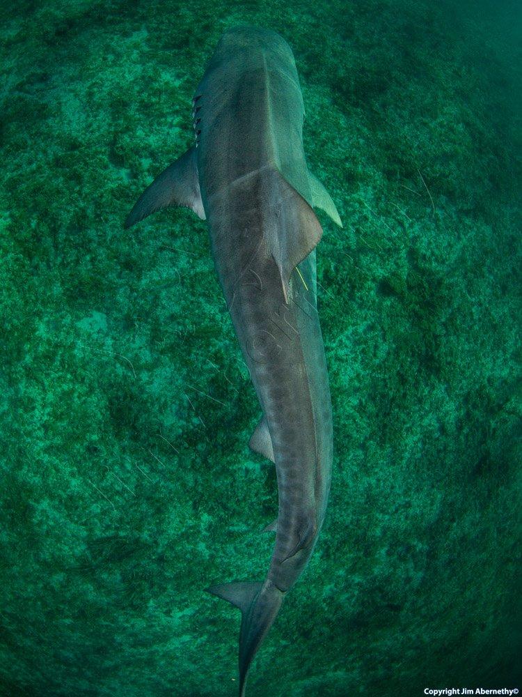 A tiger shark (Galecerdo cuvier) swimming. Image credit: Jim Abernathy
