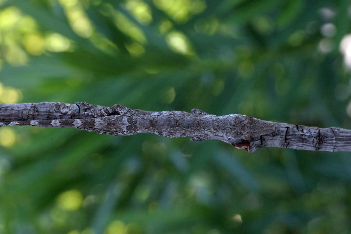 A twig anole (Anolis angusticeps) from the Bahamas