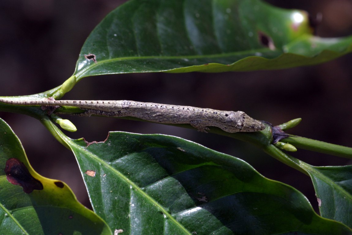A twig anole (Anolis sheplani) from the Dominican Republic