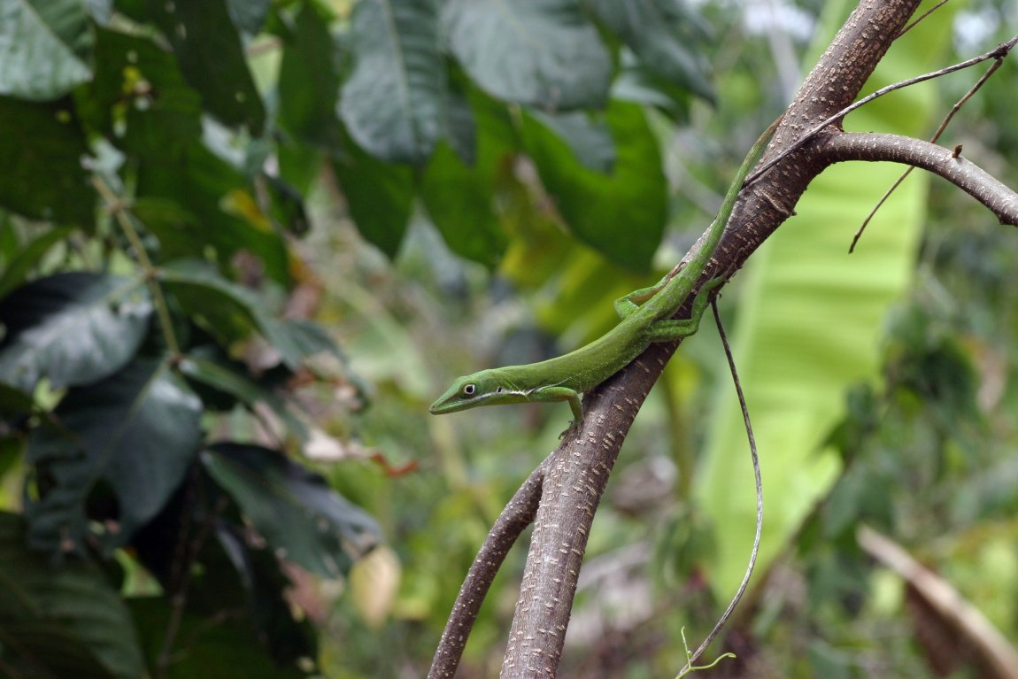 Anolis colestinus from the Dominican Republic