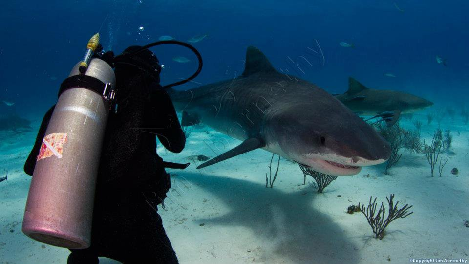 Close-up with a tiger shark (Galeocerdo cuvier). Image credit: Jim Abernathy