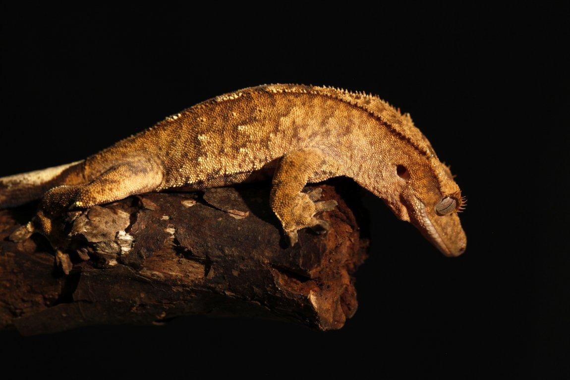 Crested gecko (Rhacodactylus ciliatus)