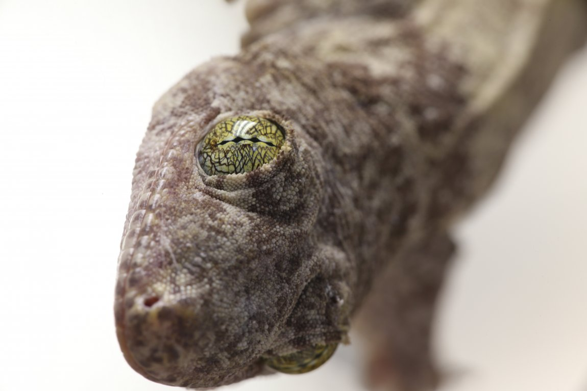 Head of a Gehyra vorax gecko. Image credit: Sean Werle