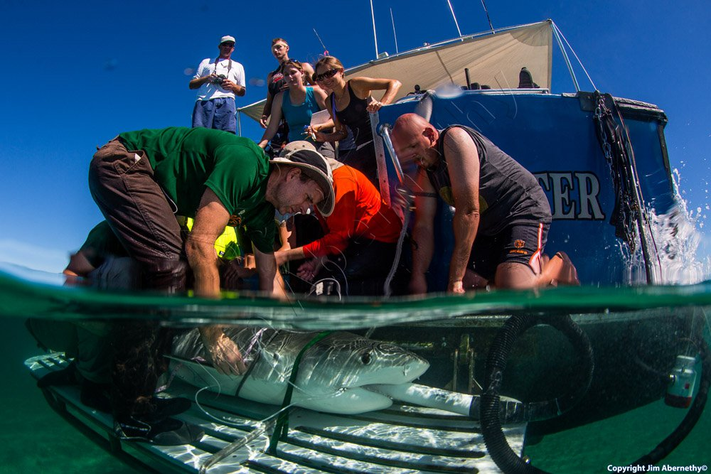 Measuring a tiger shark (Galeocerdo cuvier) in the Bahamas. Image credit: Jim Abernathy
