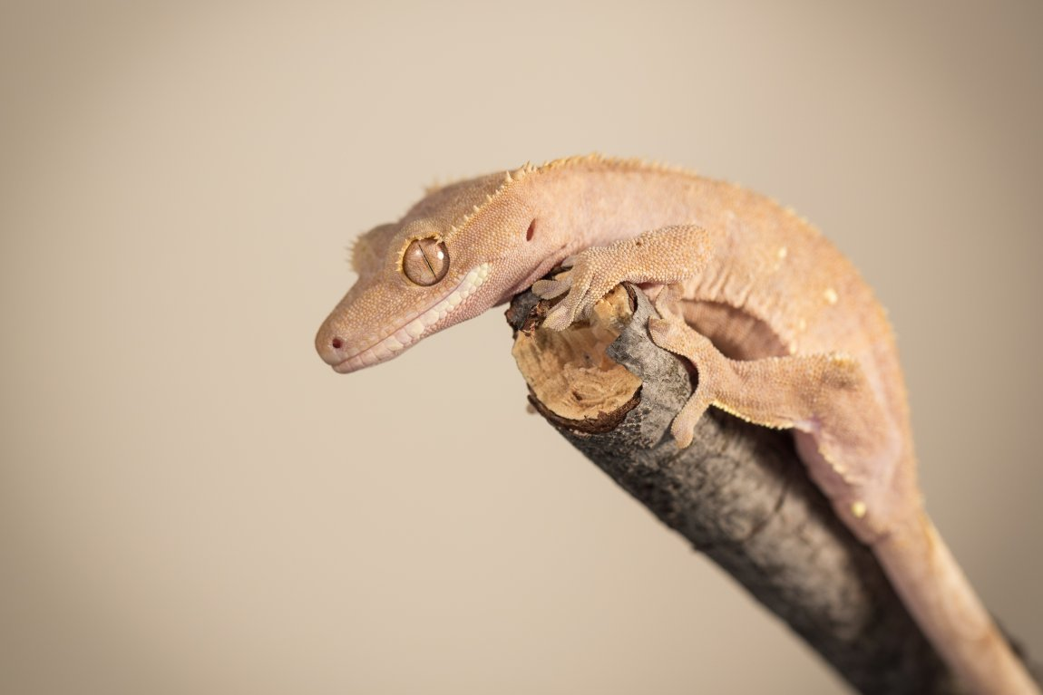 Crested gecko (Rhacodactylus ciliatus). Image credit: T. Hoogendyk & A. Slocombe