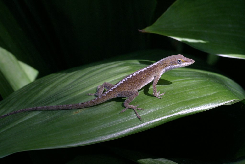 A resting green anole (Anolis carolinensis) from Louisiana