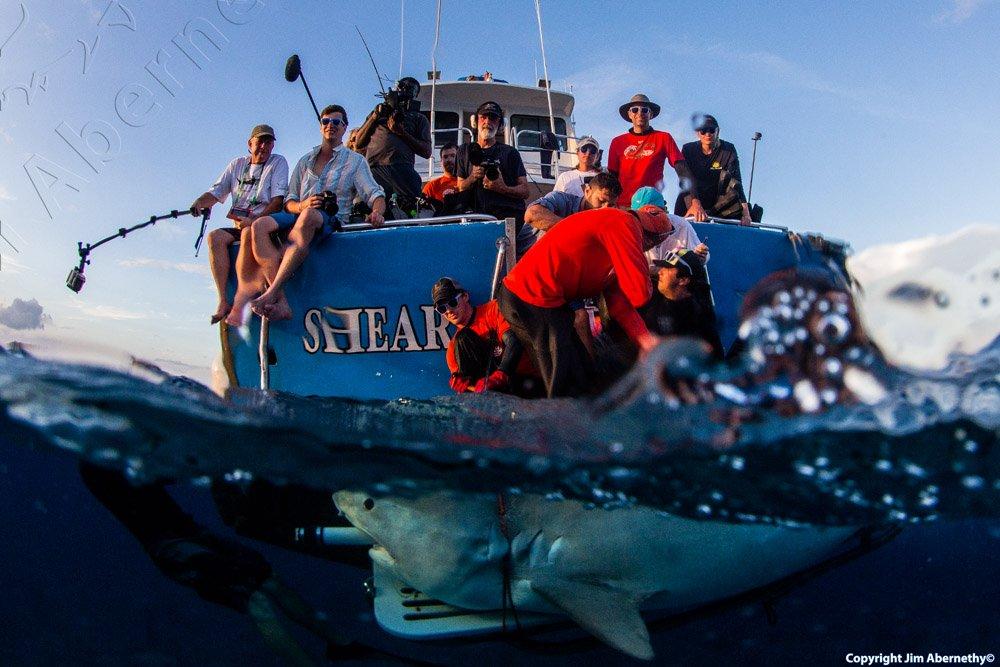 Photo of tiger shark in the Bahamas. Image credit: Jim Aberbathy