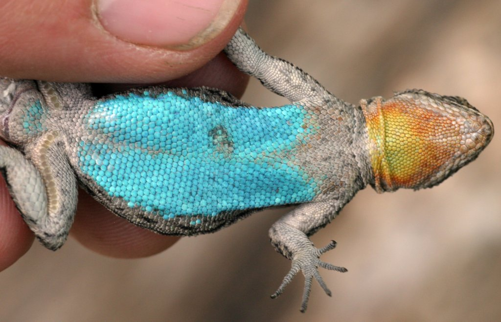 Beautiful colors from a mating male Urosaurus ornatus from Arizona