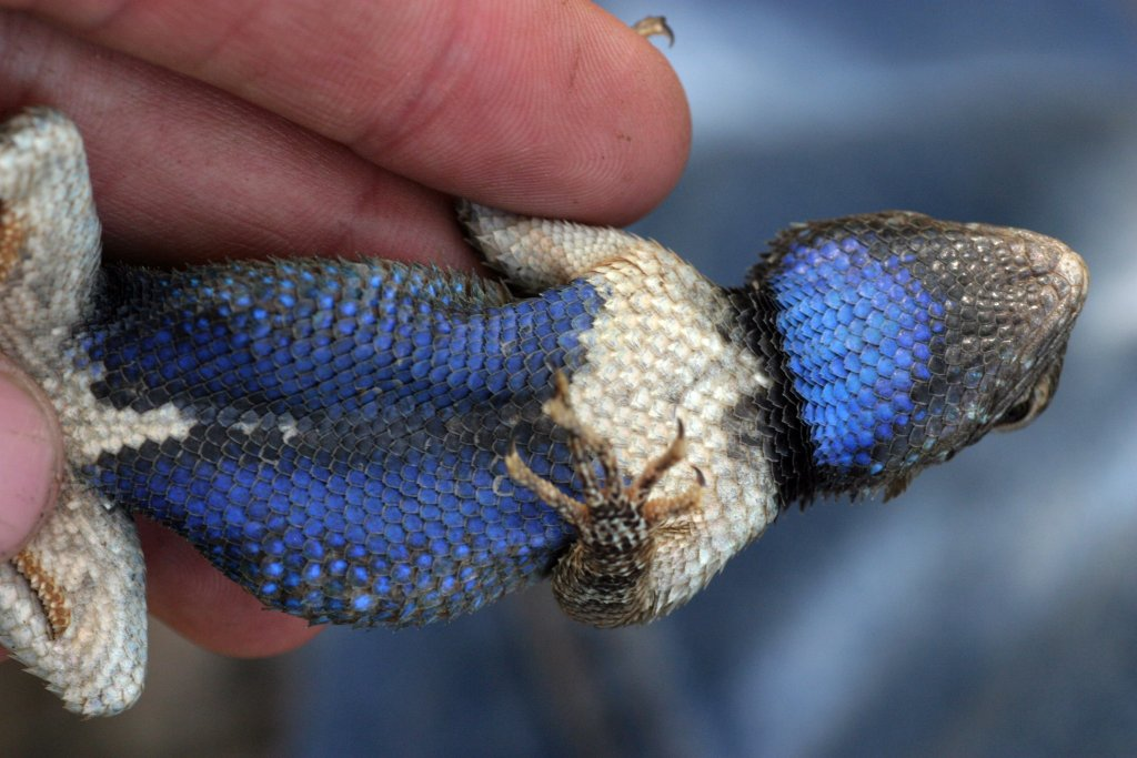 Belly of a Sceloporus lizard from Arizona