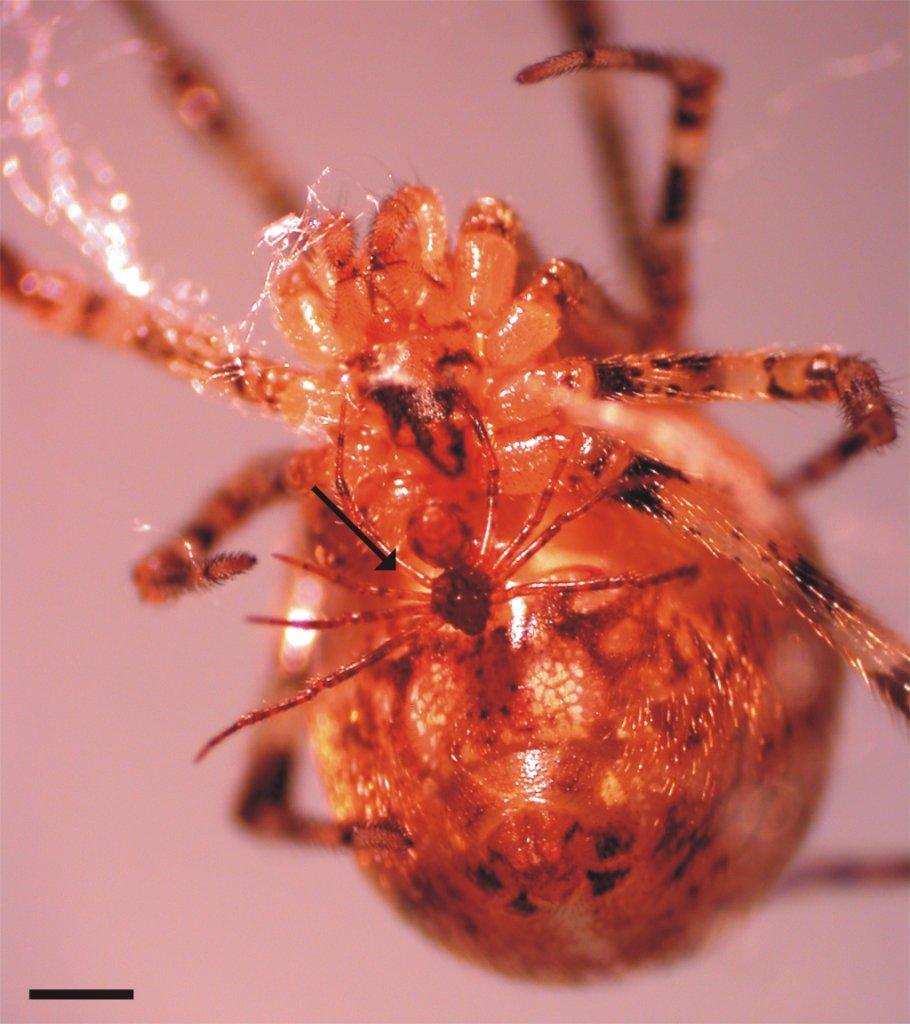 Male and female Tidarren spiders. Image credit: Margarita Ramos