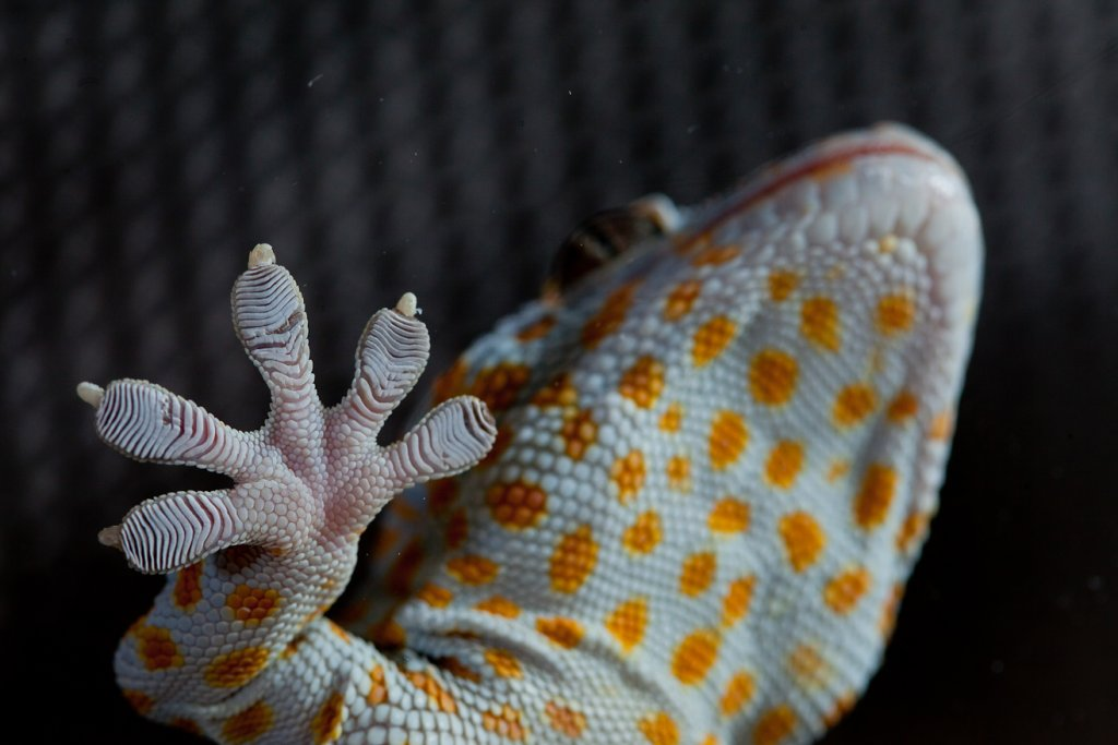 Toepad of a tokay gecko (Gecko gekko). Image credit: John Solem