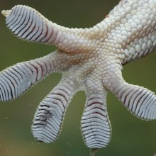 A tokay gecko (Gecko gekko) toepad