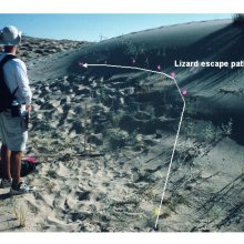 An undergraduate measuring a lizard escape path in the Mojave desert