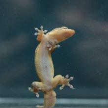 Gehyra mutilata gecko on glass