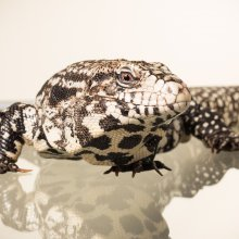 Photo of a Tegu lizard (Tupinambis merianae). Image credit: T. Hoogendyk & A. Slocombe