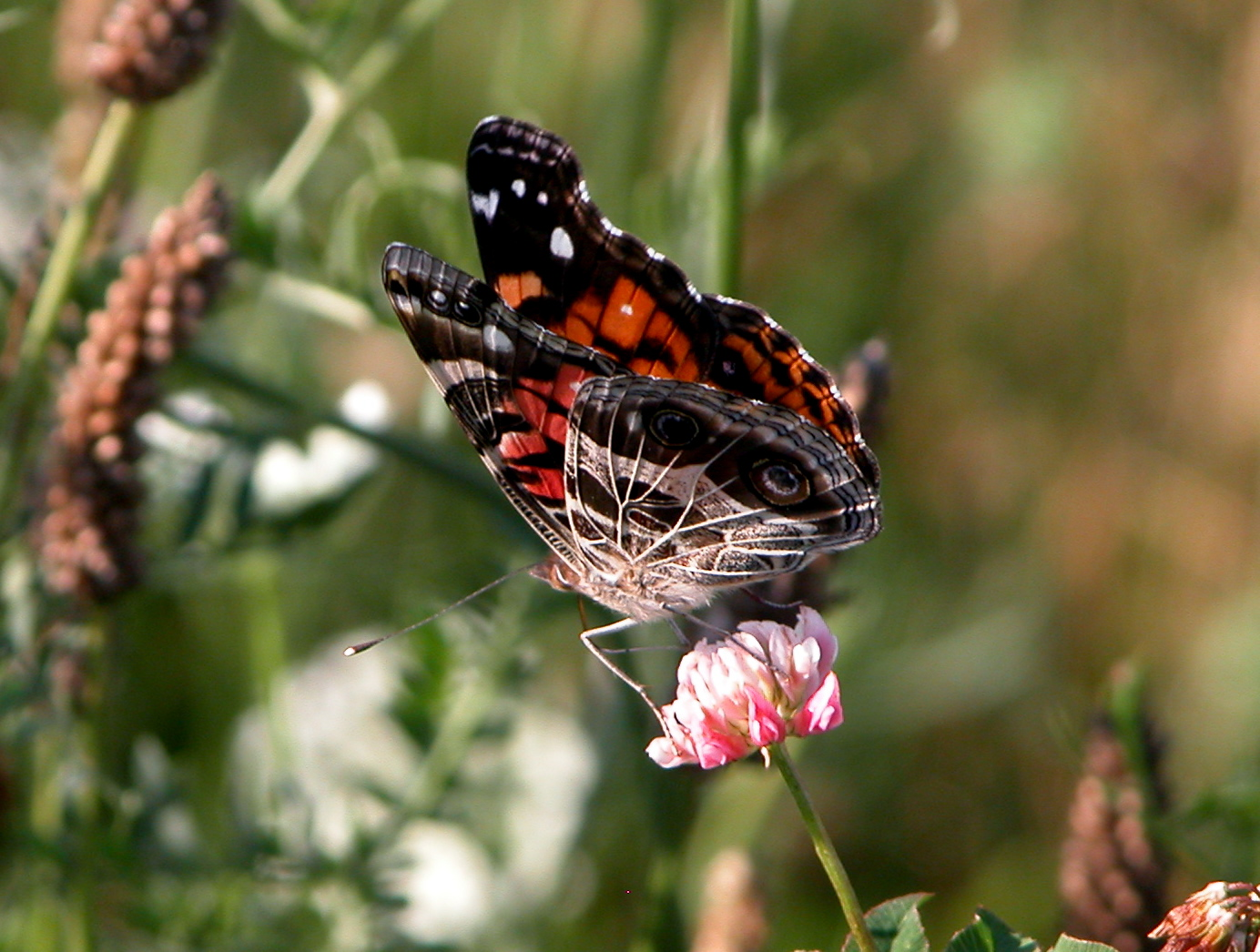 Pin Butterfly Genus Species Southern Dogface Pictures on Pinterest