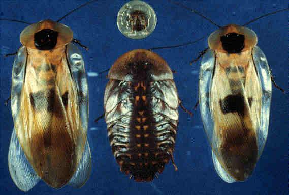 Помогите определить вид таракана Bgi_flm1