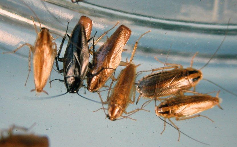 Тараканы, имея контакт как с отбросами