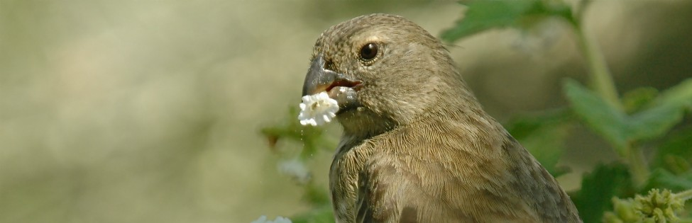 Galapagos Finch Feeding on Flower