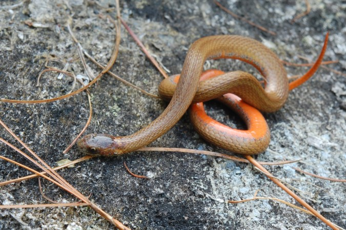 Northern Red-bellied snake (Storeria occipitomaculata)