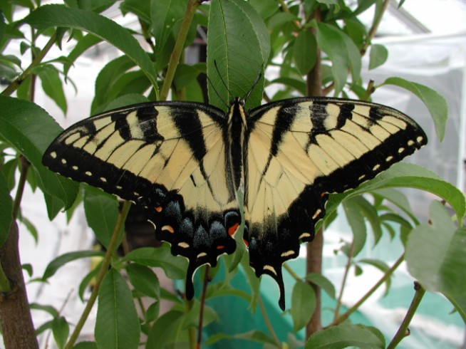 Papilio gynandromorph