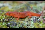 Juvenile Red-spotted Newt (Notophthalmus viridescens)
