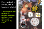 Circadian oscillators are widely distributed throughout the body