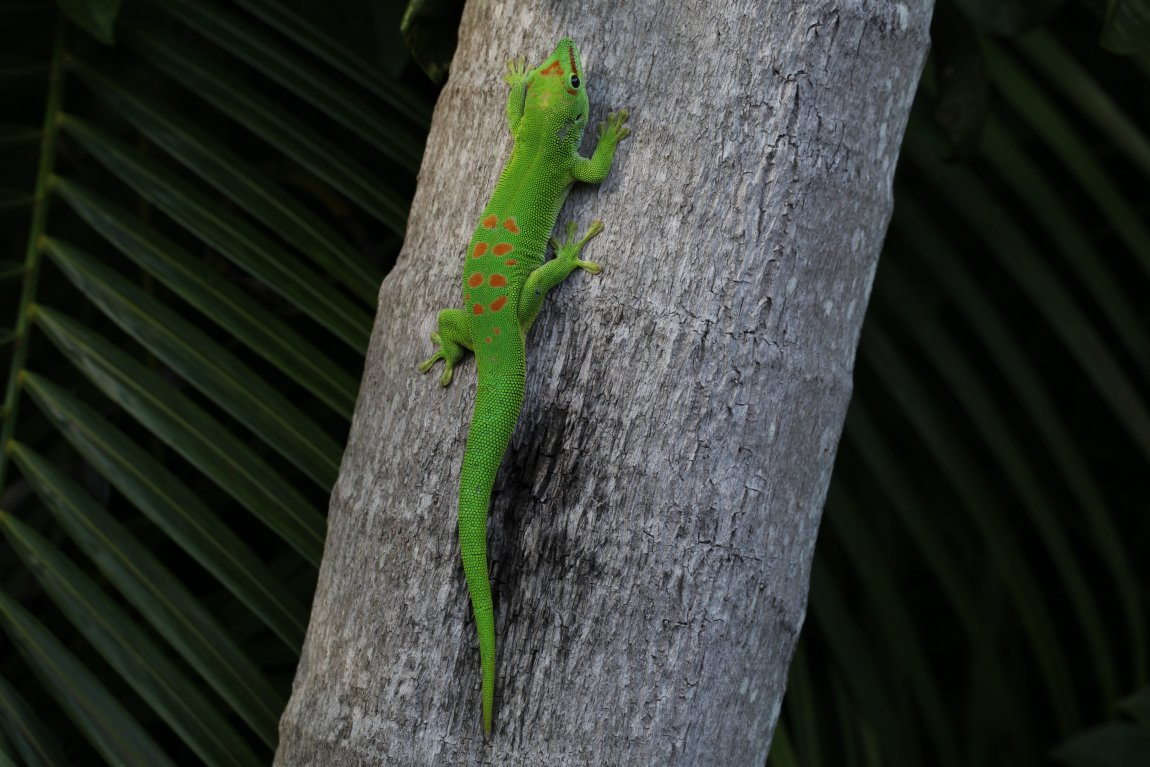 Photo of a day gecko (Phelsuma grandis) in Florida