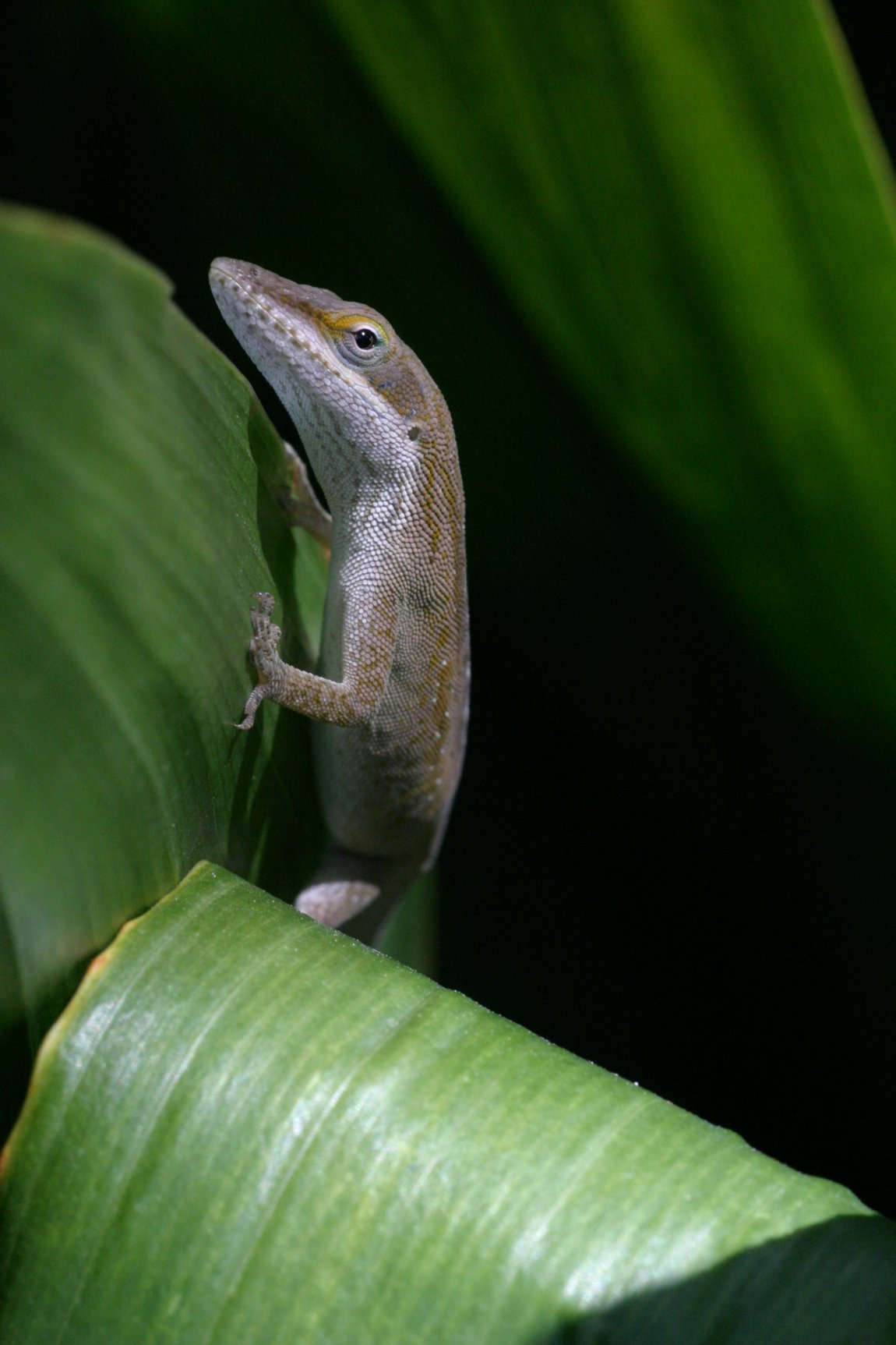 A green anole lizard (Anolis carolinensis) from Louisiana