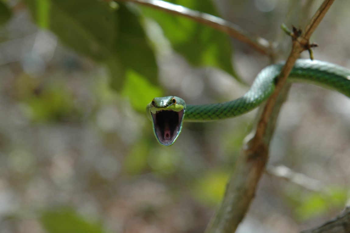 A Leptophis snake from the Dominican Republic
