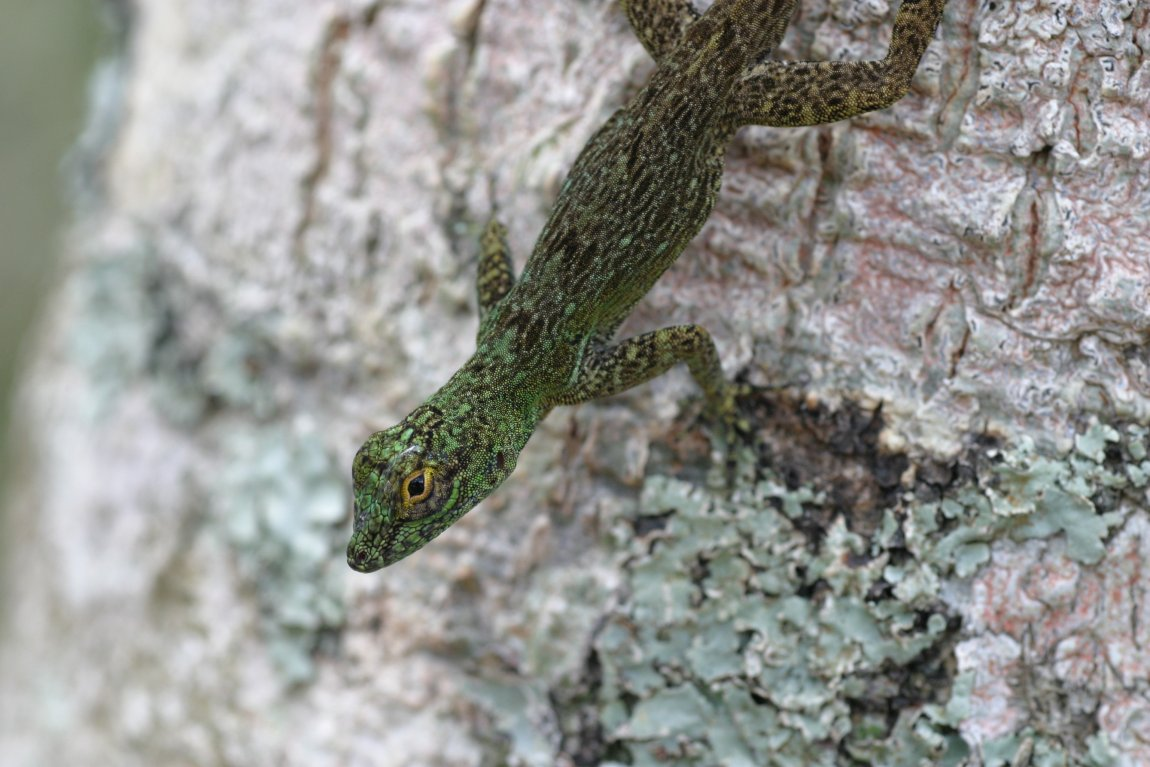 A trunk anole (Anolis distichus) from the Dominican Republic