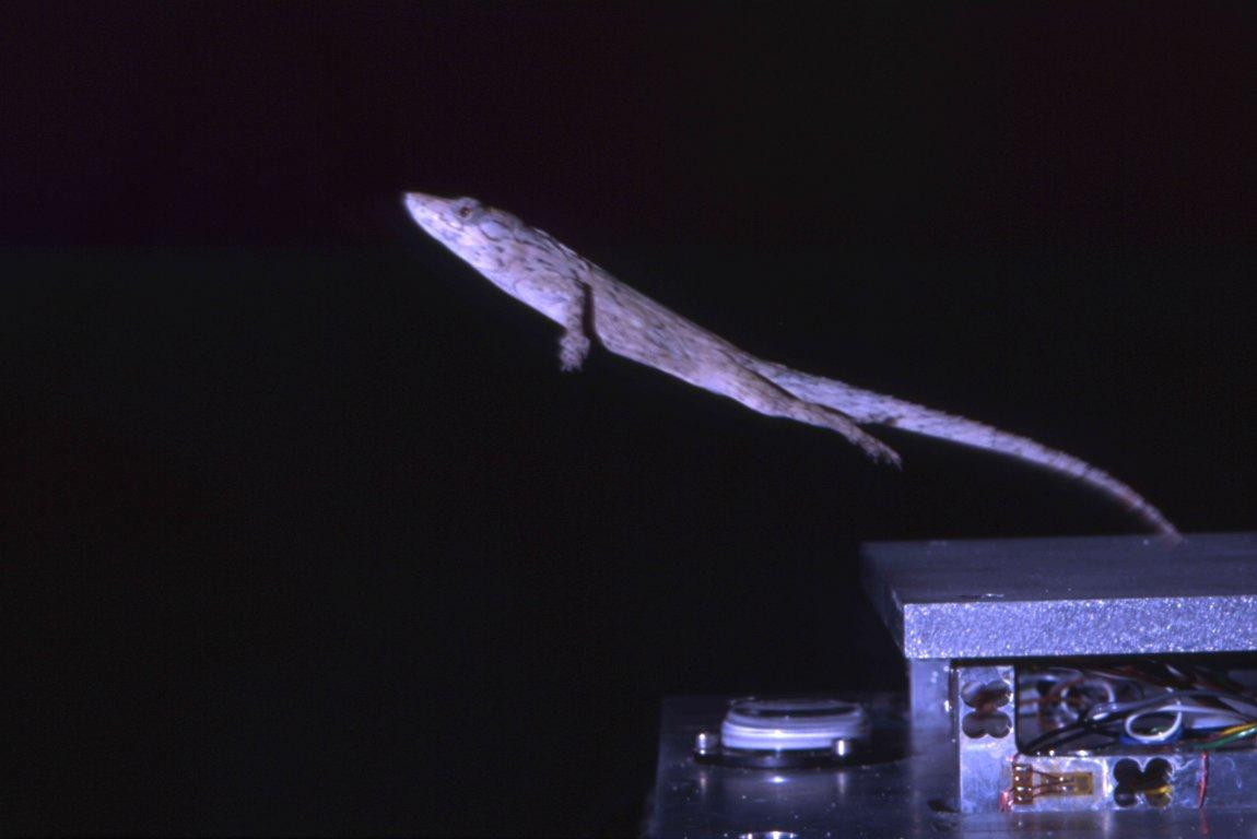 A twig anole (Anolis valencienni) jumping from a force platform. Image credit: Esteban Toro