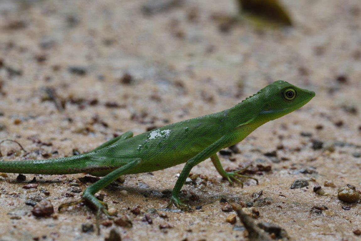 An agamid lizard (Bronchocela cristatella) from Thailand