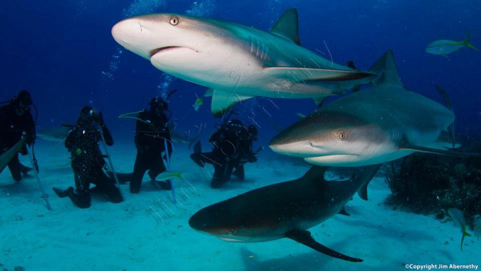 Caribbean Reef sharks (Carcharhinus perezi) in the Bahamas. Image credit: Jim Abernathy