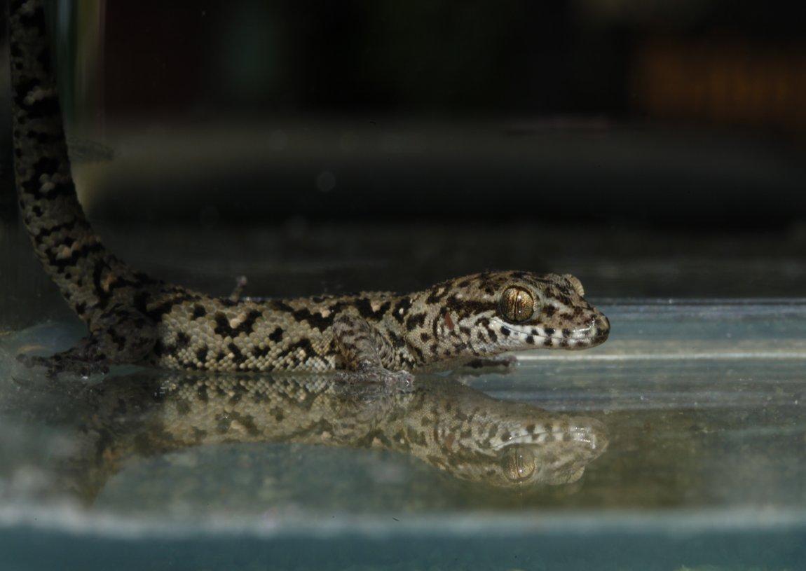 Dixonius gecko from Thailand