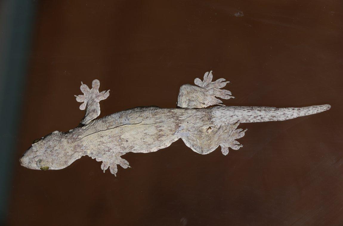 Gehyra vorax gecko. Image credit: Sean Werle