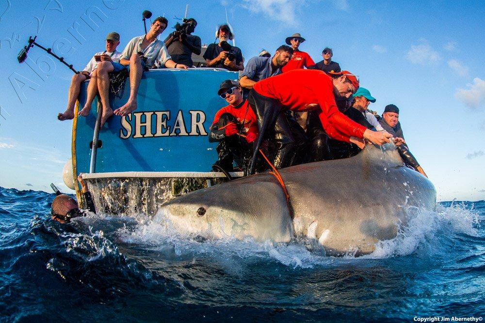 Measuring a large tiger shark (Galeocerdo cuvier) in the Bahamas. Image credit: Jim Abernathy