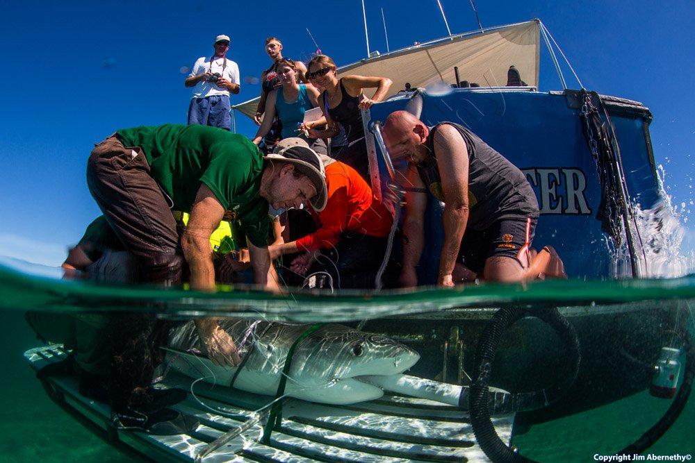 Measuring a tiger shark (Galeocerdo cuvier) in the Bahamas. Image credit: Jim Abernathy