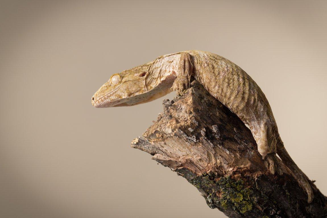 Photo of ...Gecko. Image credit: T. Hoogendyk & A. Slocombe