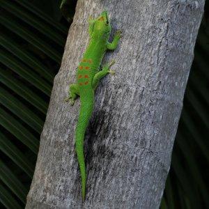 Photo of a day gecko (Phelsuma grandis) in Florida