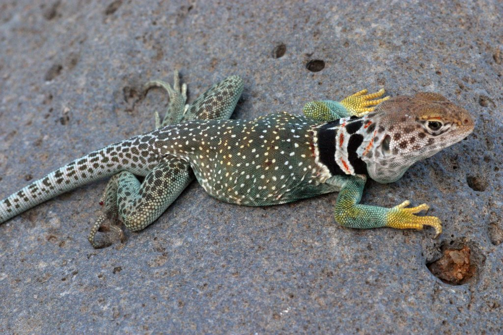 A collared lizard (Crotaphytus collaris) from Arizona