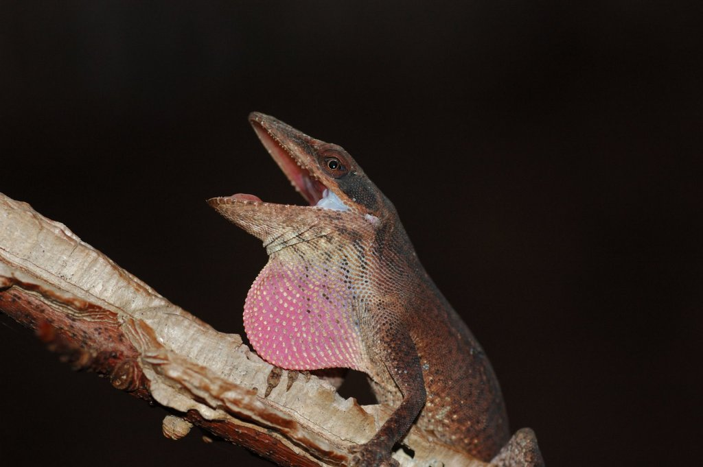 A green anole lizard (Anolis carolinensis) displaying its dewlap. Image credit: Justin Henningsen