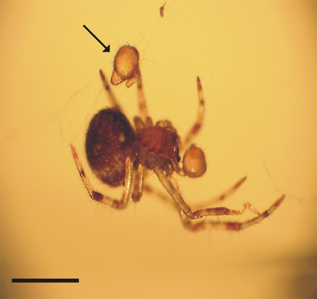 A Tidarren spider that has voluntarily removed one of its pedipalps