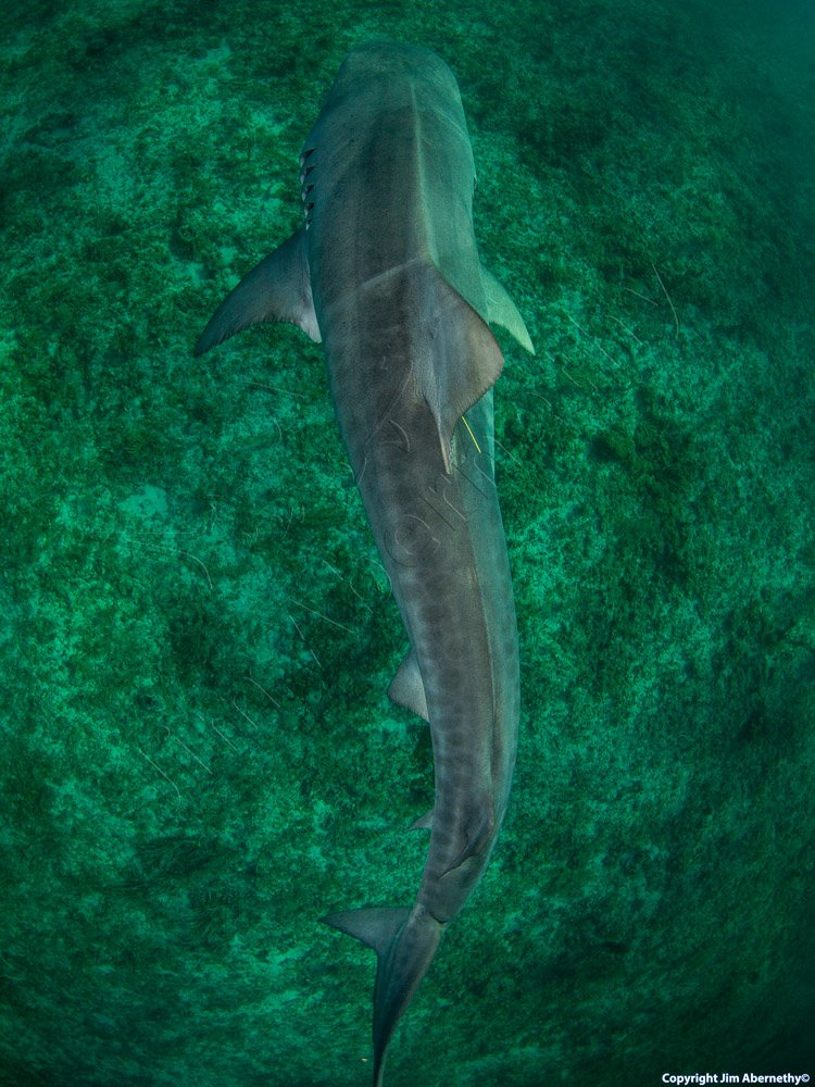 A tiger shark (Galecerdo cuvier) swimming. Image credit: Jim Abernathy