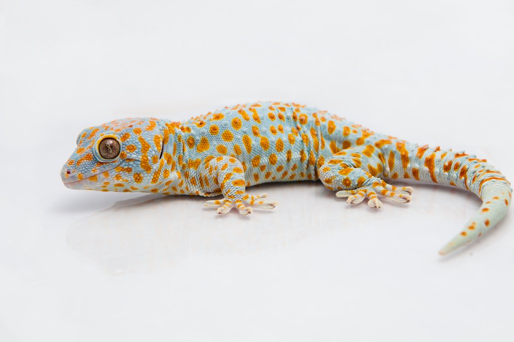 A tokay gecko (Gecko gekko). Image credit: Michael Bartlett