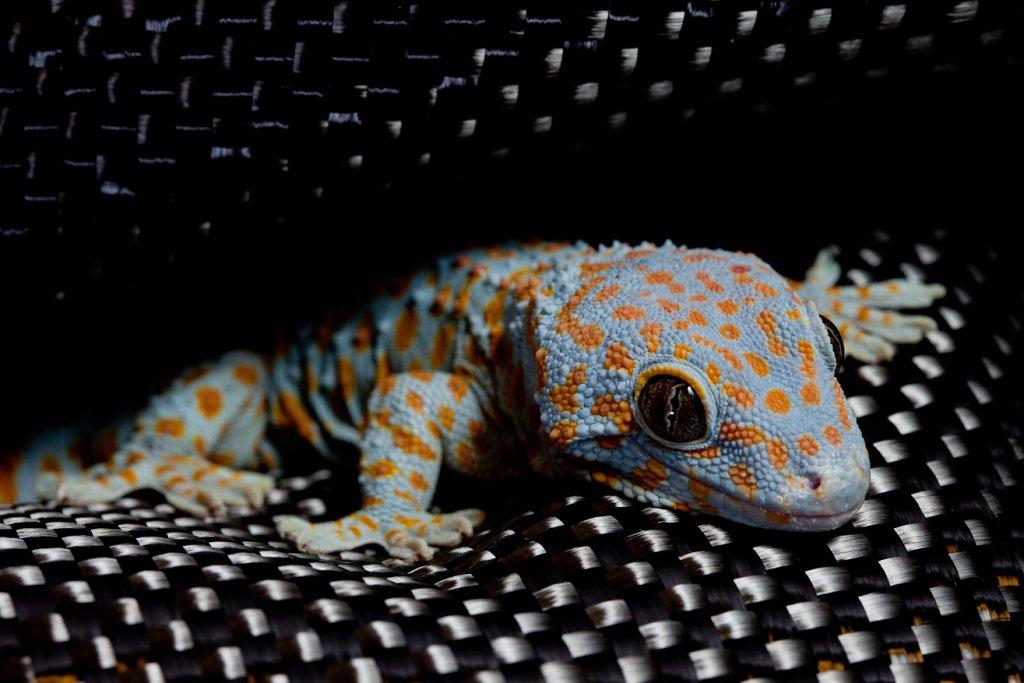 A tokay gecko (Gecko gekko) resting on kevlar. Image credit: John Solem